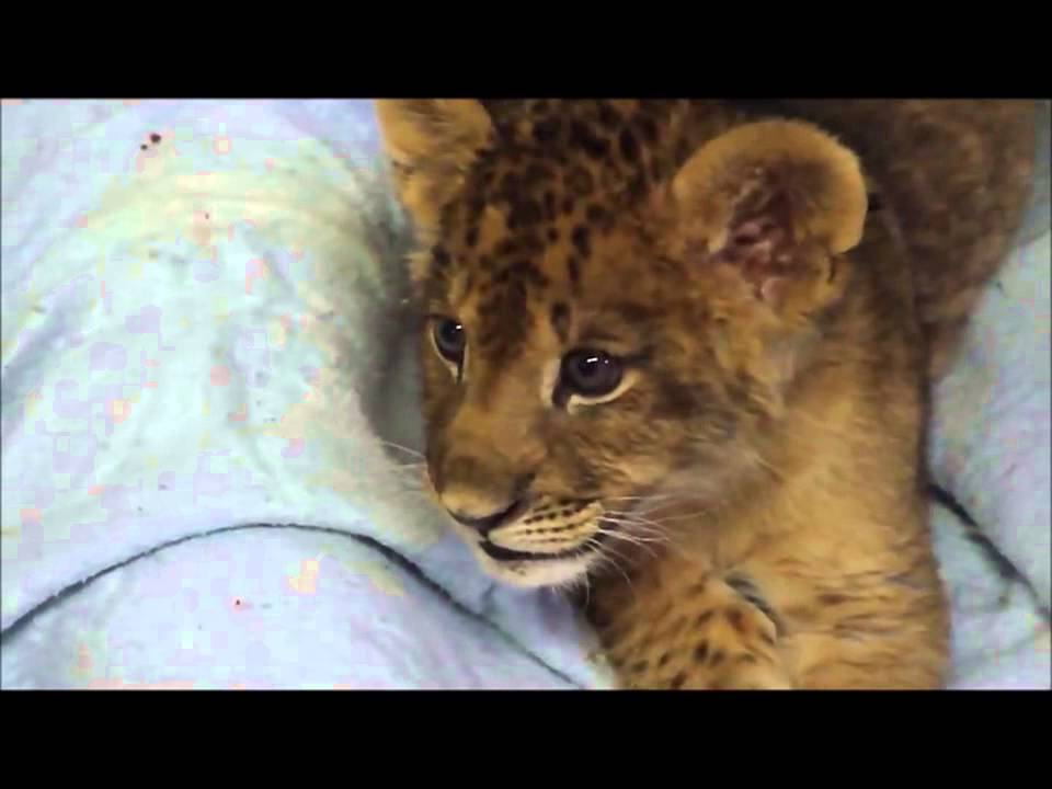 Baby Lion Roar - YouTube - photo#37