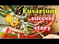 How fungicides worked?? Success story | Update on some fusarium wilt infected orchids