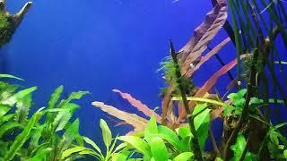Барклая в аквариуме с жёсткой водой.