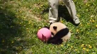 Giant Panda Bao Bao's time to go inside!
