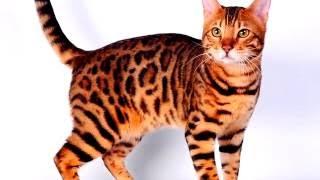 Порода кошек. Бенгальская кошка. Покорила сердца многих людей своей красотой