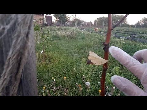 Копеечный способ в разы улучшить эффект от осенней побелки деревьев. Используем белизну!
