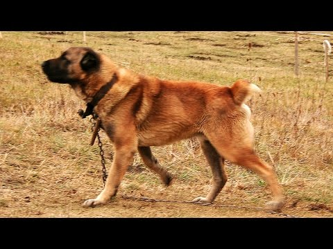 Turkmen Alabai guarding TEST 10 - Central Asian Shepherd Dog