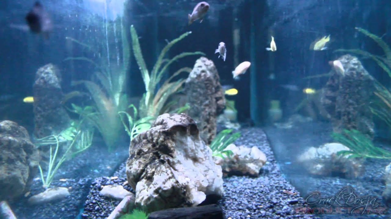 Freshwater aquarium fish in south africa - African Cichlid Fresh Water Fish Tank