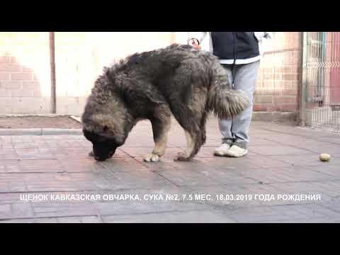 Питомник Кавказских овчарок, продает щенков.
