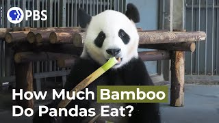 How Much Bamboo Does a Panda Consume in a Day?