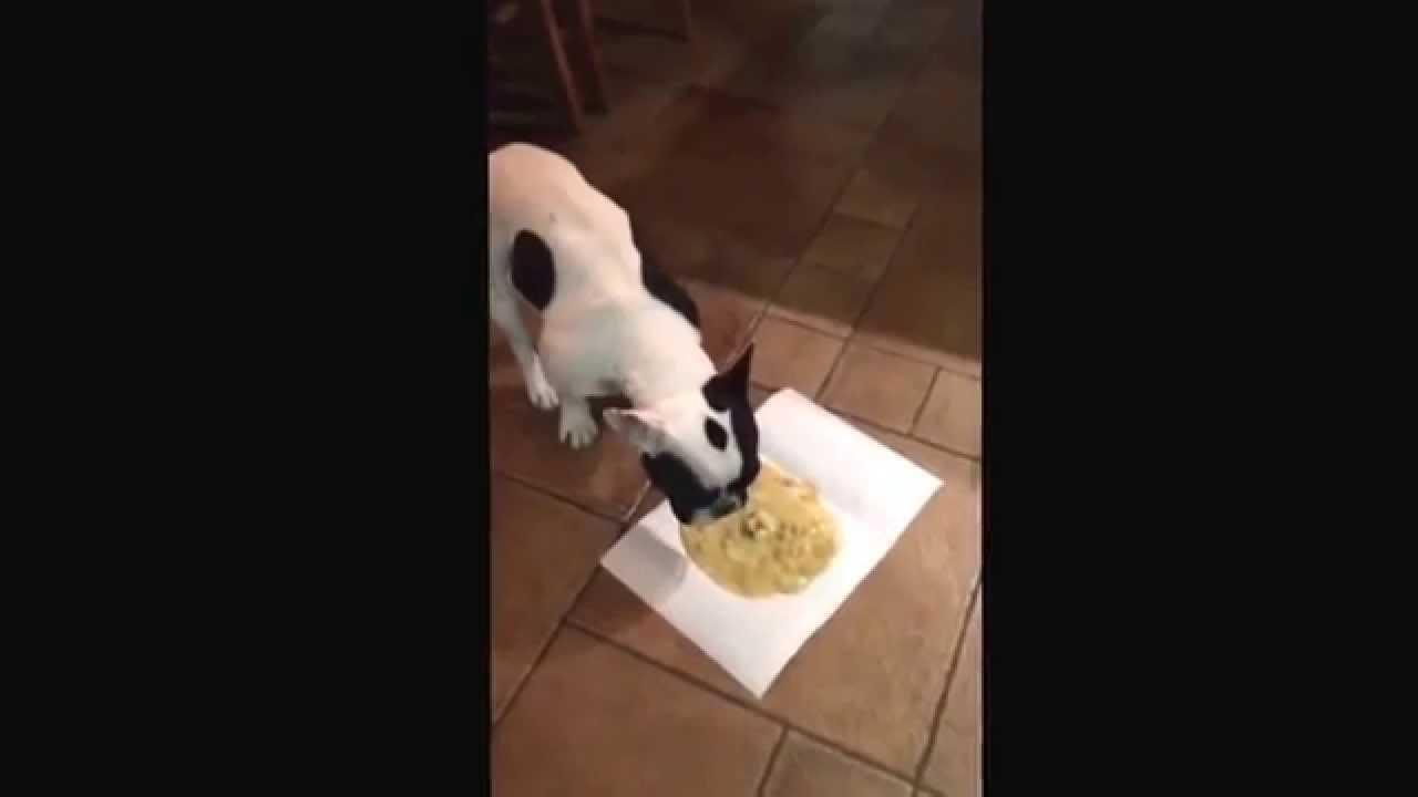polite french bulldog throw up funny youtube