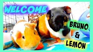WELCOME Bruno & Lemon | Guinea Pigs