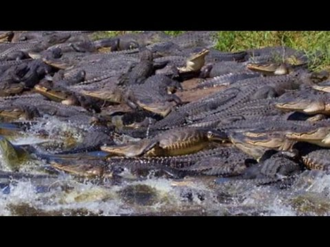 Gators! Dozens of alligators gather around giant sinkhole in Florida