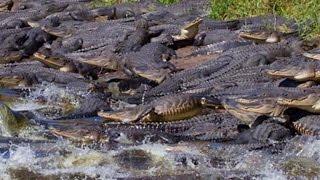 Gators! Dozens of alligators gather around giant sinkhole in Florida