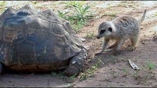 Meerkat Finds Tortoise Fascinating