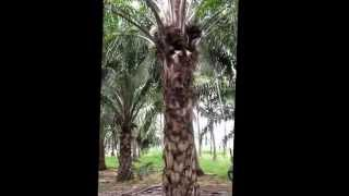Oil Palm Cutter
