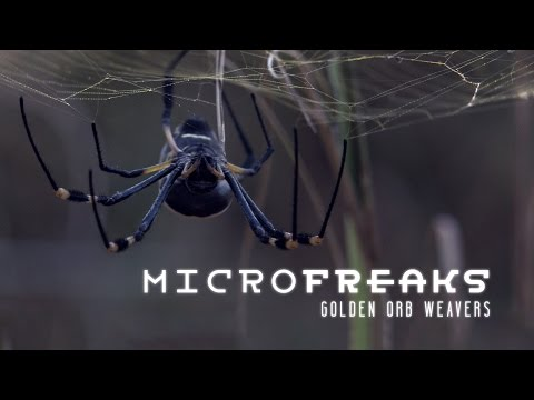 Golden orb weaver spiders: Architects of entrapment