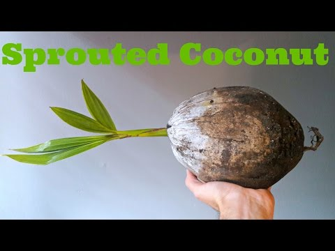 Sprouted Coconut - Weird Fruit Explorer Ep. 191