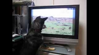 NHKの「ダーウィンが来た」に見入る愛犬チョコにゃん.