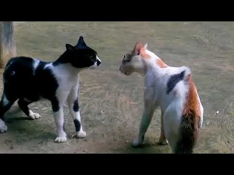Cats vs cats fighting-so you will laughing