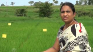Paddy Cultivation  Best Practices -alleys and Removal of paddy leaf edgess