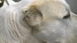 В Кыргызстане у заводчика элитных собак соседи из пистолета ранили алабая