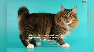 Types of Cats Around the World | Part 2 | American Bobtail