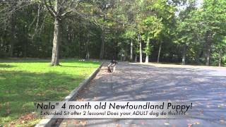 Newfoundland Puppy Extended Sit Off Leash