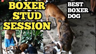 BEST BOXER STUD SESSION/BEST OF BREED BOXER/BOXER DOG BREED/