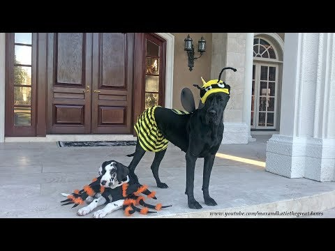 Great Dane and Puppy Enjoy Their First Halloween Costumes