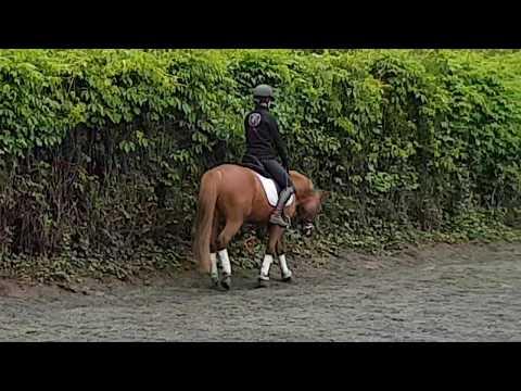 Welsh Part-Bred poney de sport