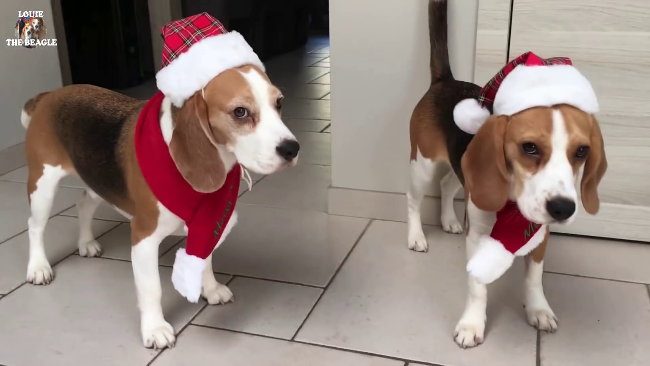 Image result for christmas beagles