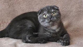 Вислоухая кошечка окрас черный дым