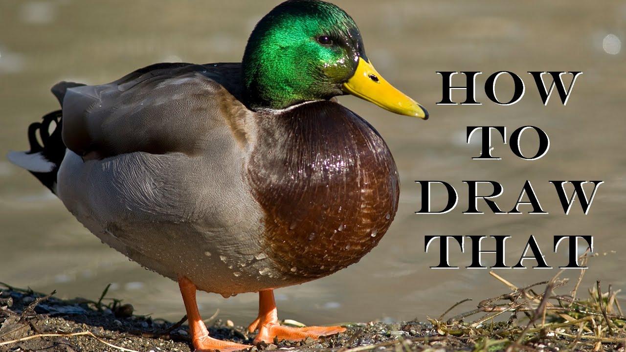 how to draw a mallard duck amateurart