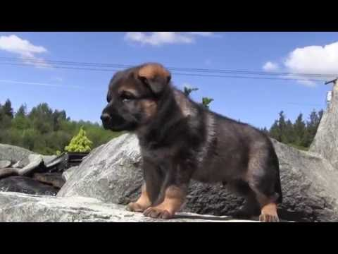 Best Working Line German Shepherd Puppies in the World 2016