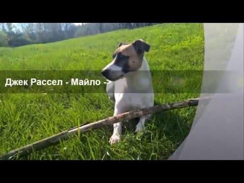 Джек Рассел терьер - сообразительная порода/Jack Russell Terrier - smart dog