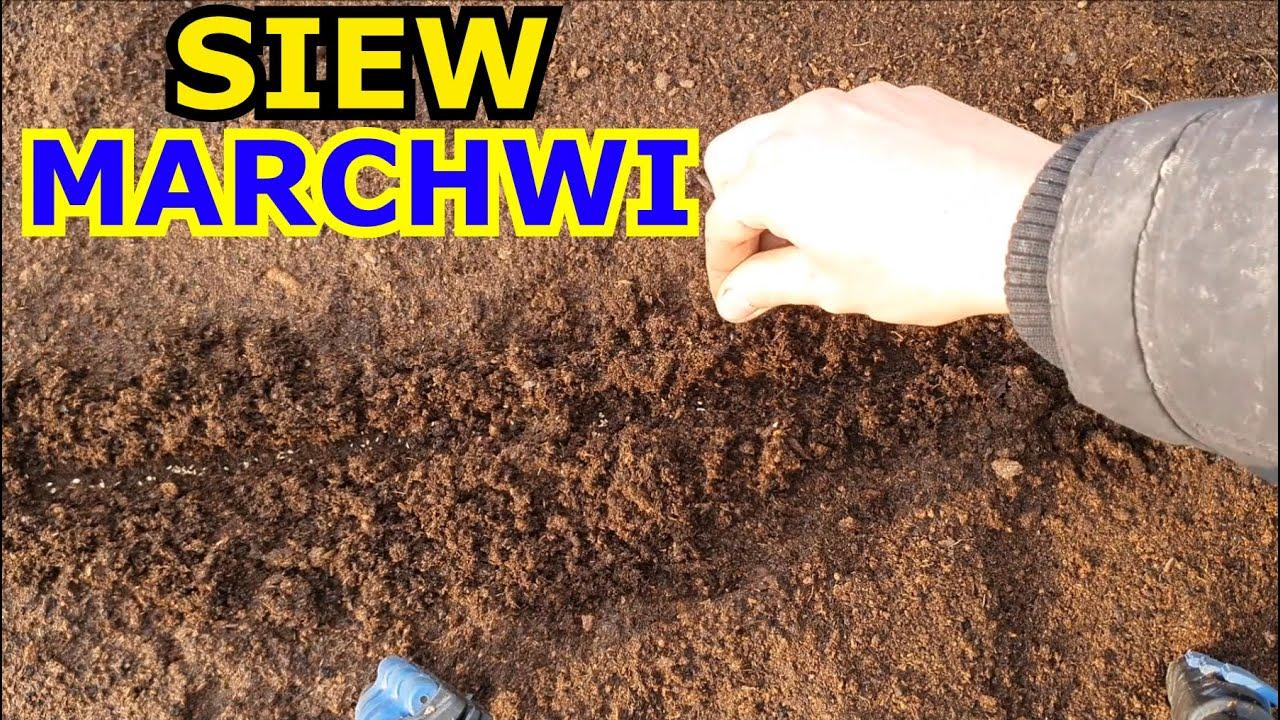 Download Siew Marchwi | Jak siać Marchew w Ogródku