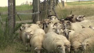 088mala farma   ovce a pes