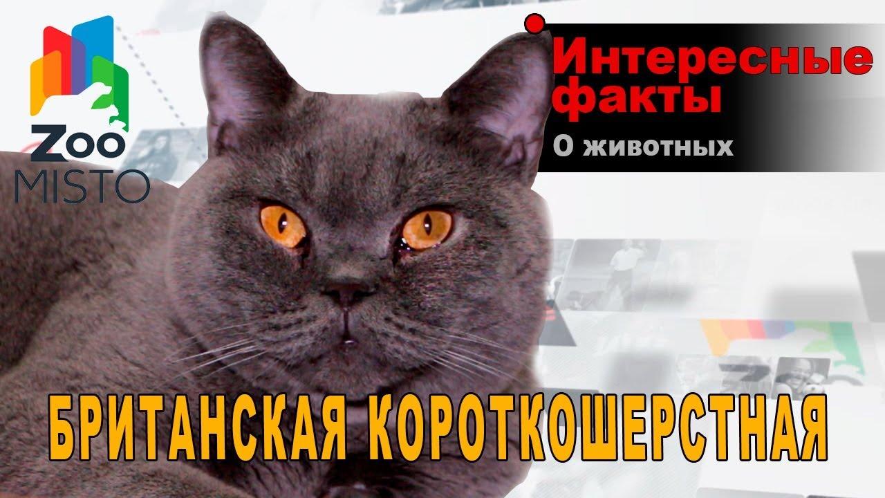 Британская кошка - 84 фото истинных леди и джентльменов | 720x1280