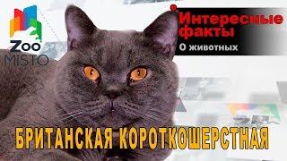 Британская кошка - Интересные факты о породе