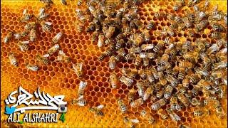 ماذا يفعل #النحل إذا شعر بالخطر على #العسل الذي جمعه؟