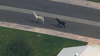 Llama Chase in Arizona Captivates Nation #LlamaDrama