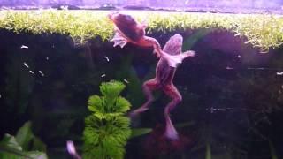 Аквариумная Карликовая лягушка Hymenochirus boettgeri