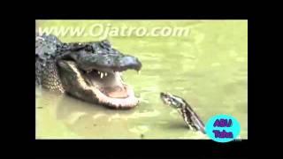 ثعبان يهاجم تمساح ضخم  هل تصدق اغرب معركة مصورة