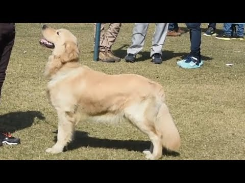 Golden Retriever dogs | Delhi Dog Show 2018