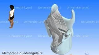Le larynx 3 - Ligaments et cordes vocales