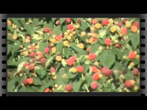 Малина Желтый великан - первый год полодоношения