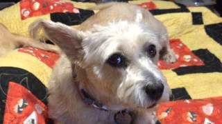 Addy The Cairn Terrier Finds Her Voice