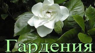 Gardenia jasminoides как ухаживать в домашних условиях