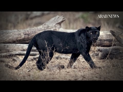 Elusive 'black panther' sighted in Kenya for the first time in a century Mp3