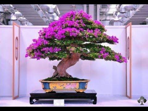bonsai,-arboles-miniatura,-saber,-conocer,-misterios-y-enigmas,-español,-latino