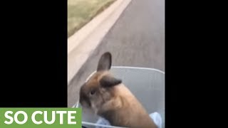 Bunny thoroughly enjoys relaxing bike ride