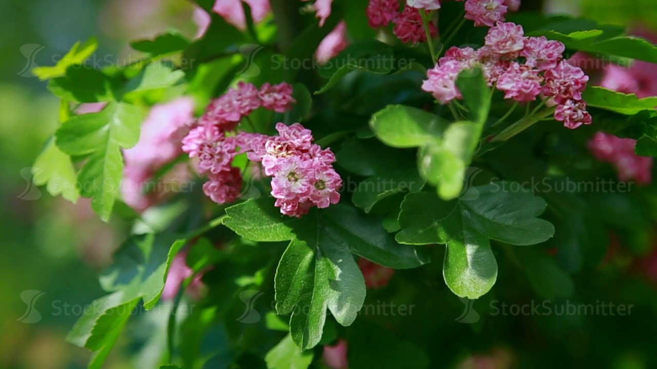 Slowly Shrubs With Pink Flowers Swing In The Wind Youtube