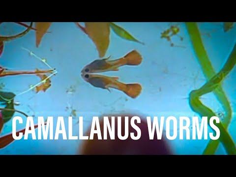 CAMALLANUS WORMS